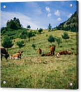 Bells And Cows Acrylic Print