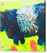 Belted Galloway Cow Looking At You Acrylic Print