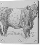 Belted Galloway Cow Pencil Drawing Acrylic Print