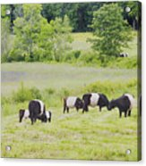 Belted Galloway Cows Rockport Maine Poster Prints Acrylic Print