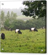 Belted Galloways In Field Acrylic Print