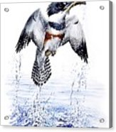 Belted Kingfisher Acrylic Print by Christopher Cox
