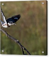 Belted Kingfisher Liftoff Acrylic Print