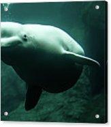 Beluga Whale 1 Acrylic Print
