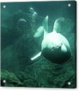 Beluga Whale 2 Acrylic Print