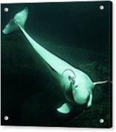 Beluga Whale 3 Acrylic Print