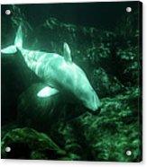 Beluga Whale 5 Acrylic Print