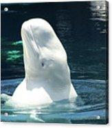 Beluga Whale Acrylic Print