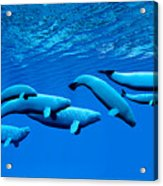 Beluga Whale Pod Acrylic Print
