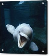 Beluga Whale Swimming With An Open Acrylic Print