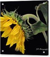 Bending Sunflower Acrylic Print