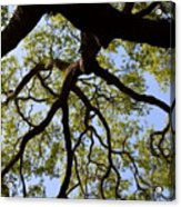 Beneath The Oak Acrylic Print
