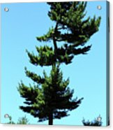 Beneath This Tree Lies Robert Edwin Peary Acrylic Print