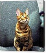 Bengal Cat Oil Pastel  Acrylic Print