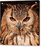 Bengal Owl Acrylic Print