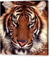 Bengal Tiger - 2 Acrylic Print