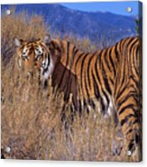 Bengal Tiger Endangered Species Wildlife Rescue Acrylic Print