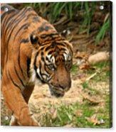 Bengal Tiger II Acrylic Print
