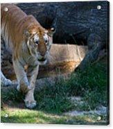 Bengal Tiger On The Prowl Acrylic Print