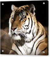 Bengal Tiger Sitting In Silent Shadows Acrylic Print