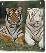 Bengal Tiger Team Acrylic Print