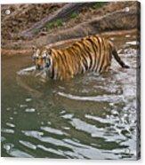 Bengal Tiger Wading Stream Acrylic Print