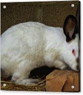Benny Bunny Acrylic Print