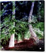 Bent Fir Tree Acrylic Print