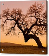 Bent Oak Acrylic Print