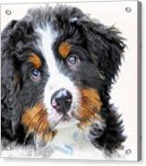 Berner-sennenhund Acrylic Print
