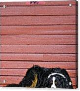 Bernese Mountain Dog Alertly Guarding Home. Acrylic Print