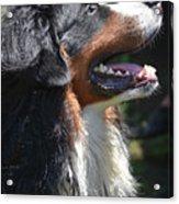 Bernese Mountain Dog Basking In The Sunshine Acrylic Print