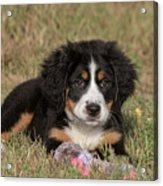 Bernese Mountain Dog Puppy Acrylic Print