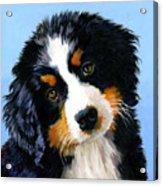 Bernese Mountain Puppy Acrylic Print