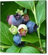 Berries Beautiful Acrylic Print