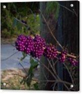 Berries On The Limb Acrylic Print