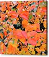 Berry Aronia Acrylic Print
