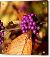 Berry Bush Acrylic Print