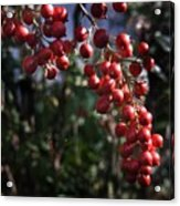 Berry Tree Acrylic Print