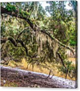 Bethany Cemetery Oaks And Tidal Creek Acrylic Print