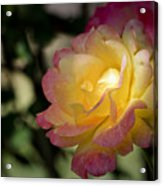 Bettys Rose Acrylic Print
