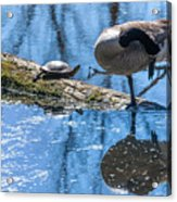 Bff Turtle And Canda Goose Acrylic Print