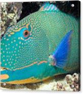 Bicolor Parrotfish Acrylic Print