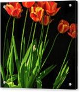 Bicolor Tulips Acrylic Print