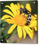 Big Bee On Yellow Daisy Acrylic Print