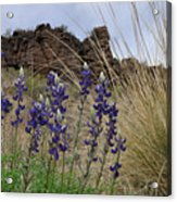 Big Bend Bluebonnets Acrylic Print
