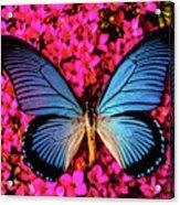 Big Blue Butterfly On Kalanchoe Flowers Acrylic Print