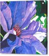 Big Blue Clematis Acrylic Print