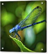 Big Blue Eyes Damselfly  Acrylic Print