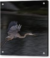 Big Blue Heron In Flight-debbie-may Acrylic Print